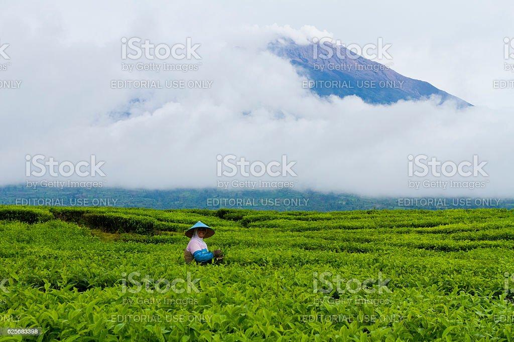 Tea farming stock photo