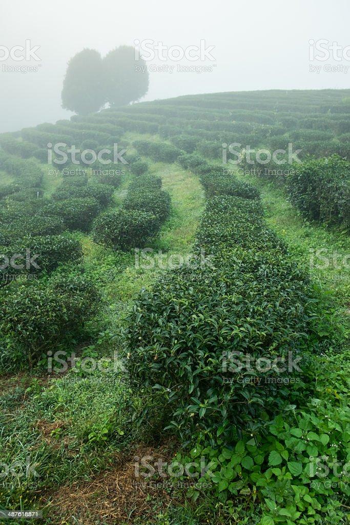 Tea field among mist in morning at Doi Wavee, Thailand. stock photo