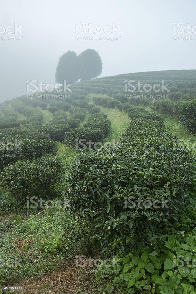 Tea field among mist in the morning at Doi Wavee. stock photo