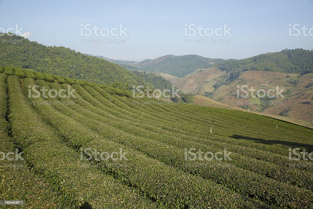 Tea field on the mountain royalty-free stock photo