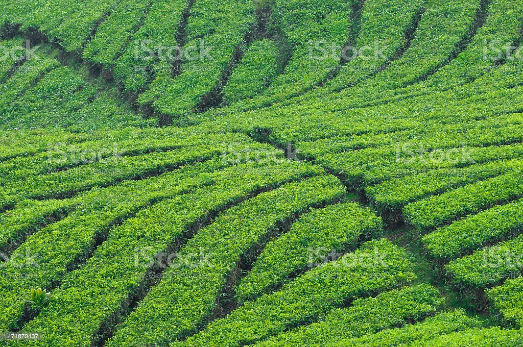 Tea field royalty-free stock photo