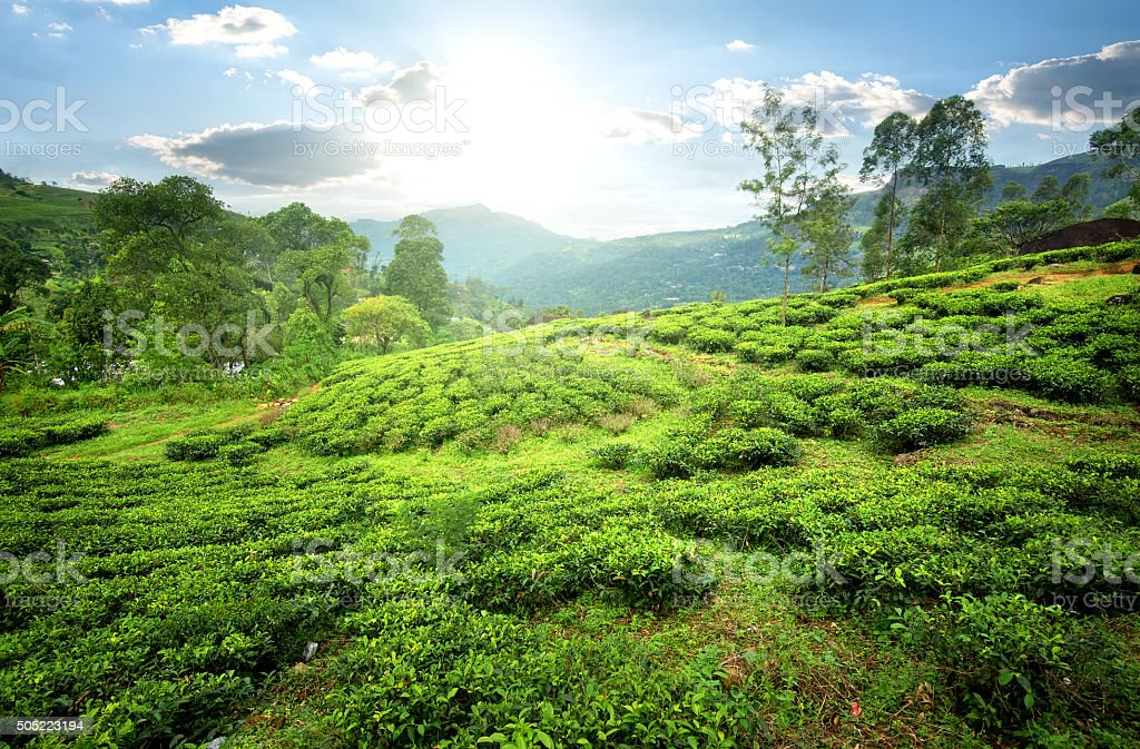 Tea fields in mountains stock photo