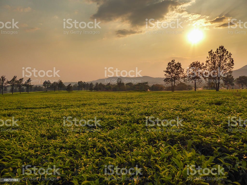 Tea fields in Southern Africa at sunset stock photo