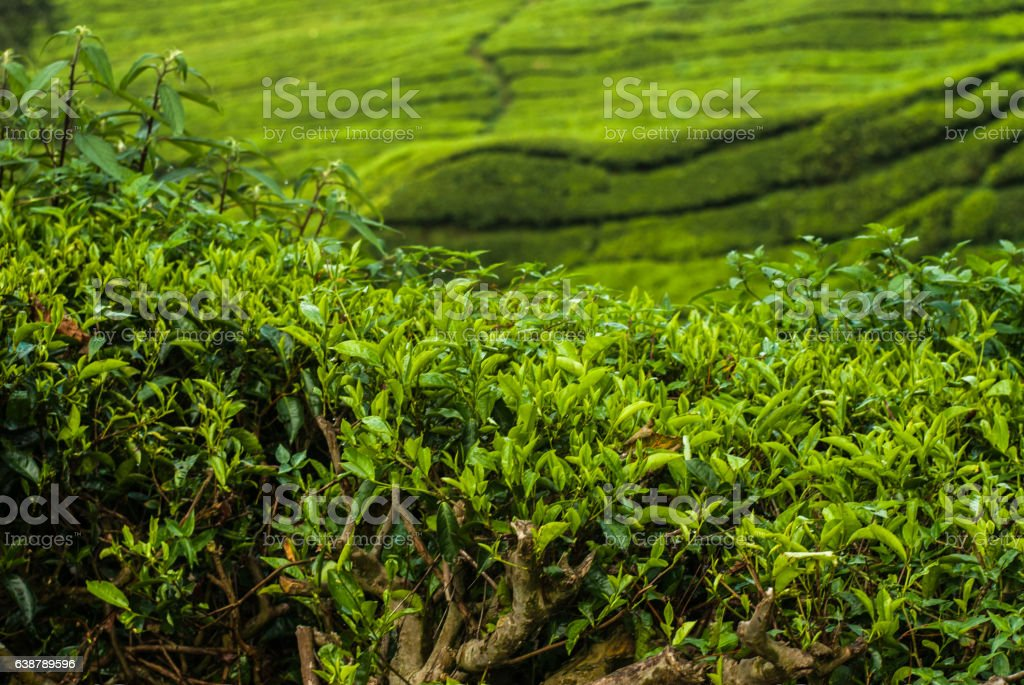 Tea fields in the Cameron Higlands stock photo