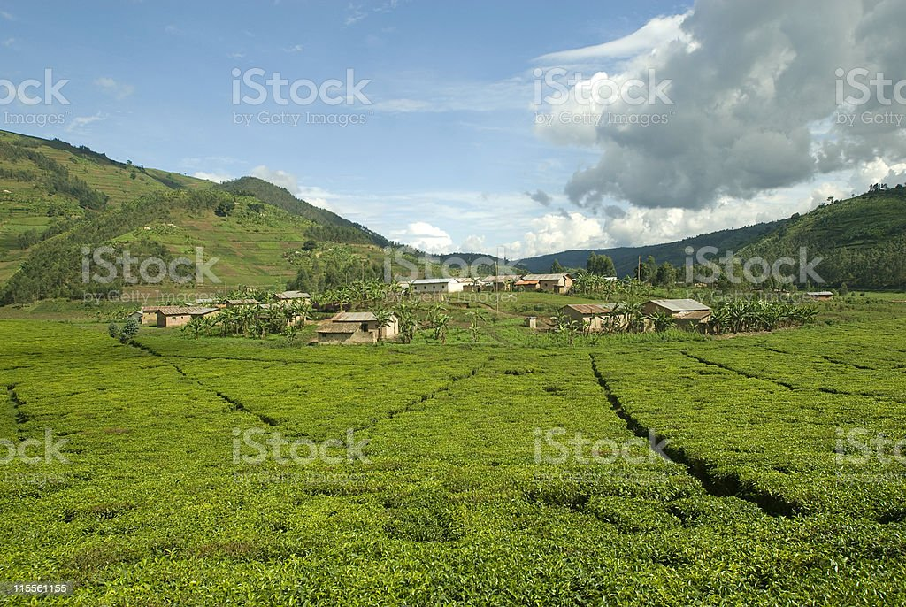 Tea fields in the heart of Africa stock photo