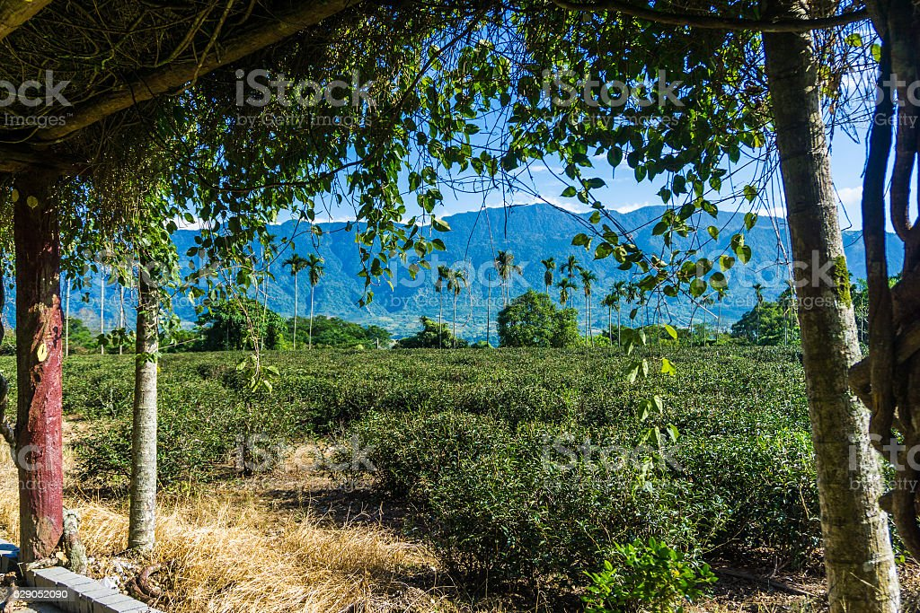 Tea Fields of the Rift Valley stock photo