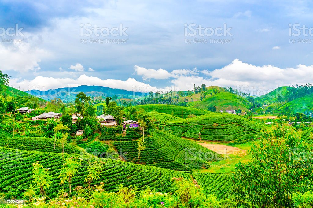 Tea fields with houses and trees on horizon stock photo