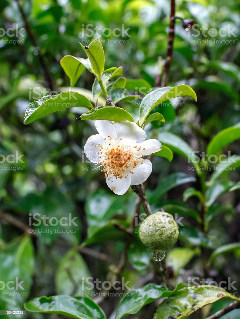 Tea flower royalty-free stock photo