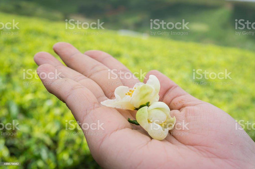 Tea flowers in hand stock photo