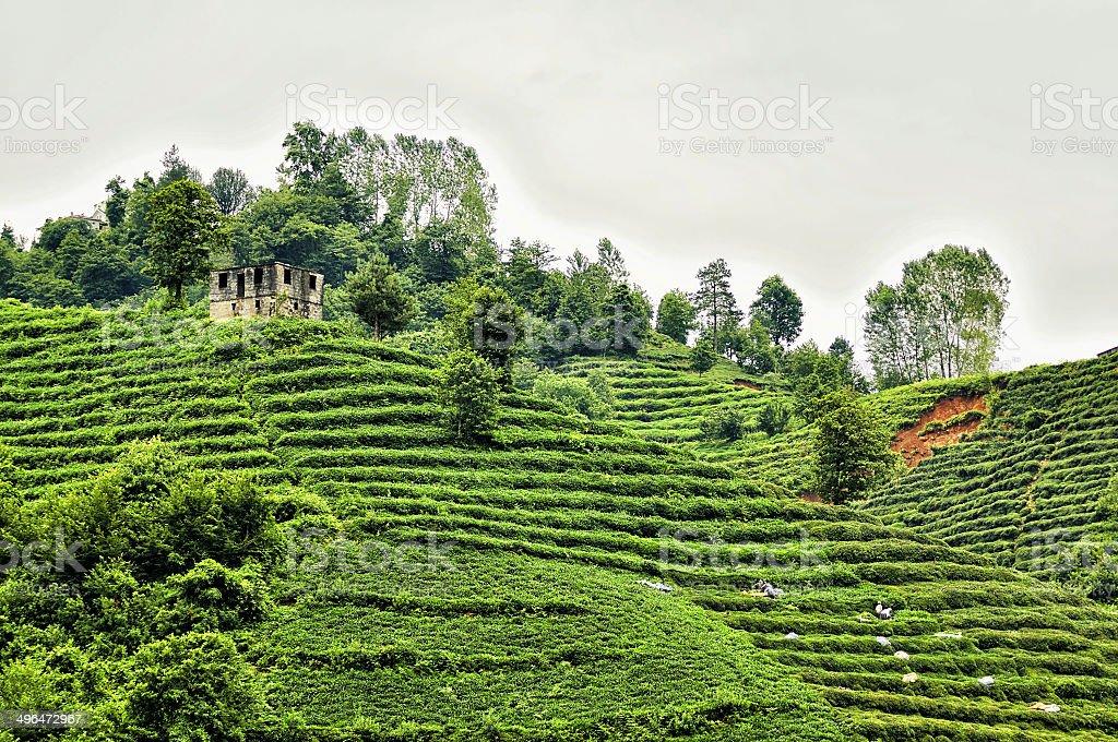 Tea garden in Rize stock photo