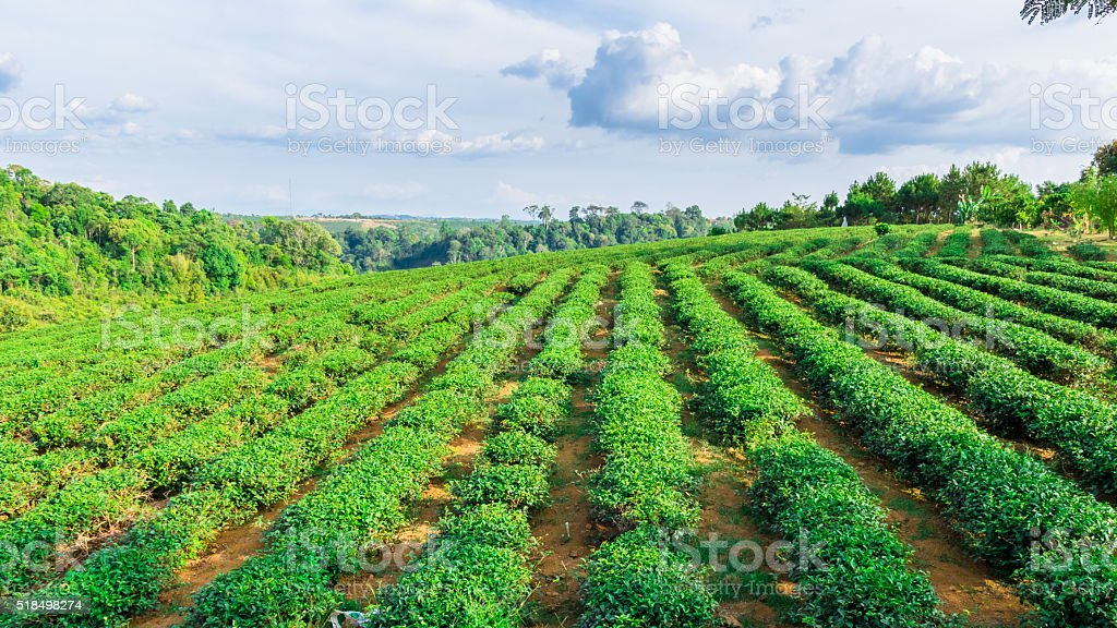 Tea garden in the highland of Vietnam stock photo