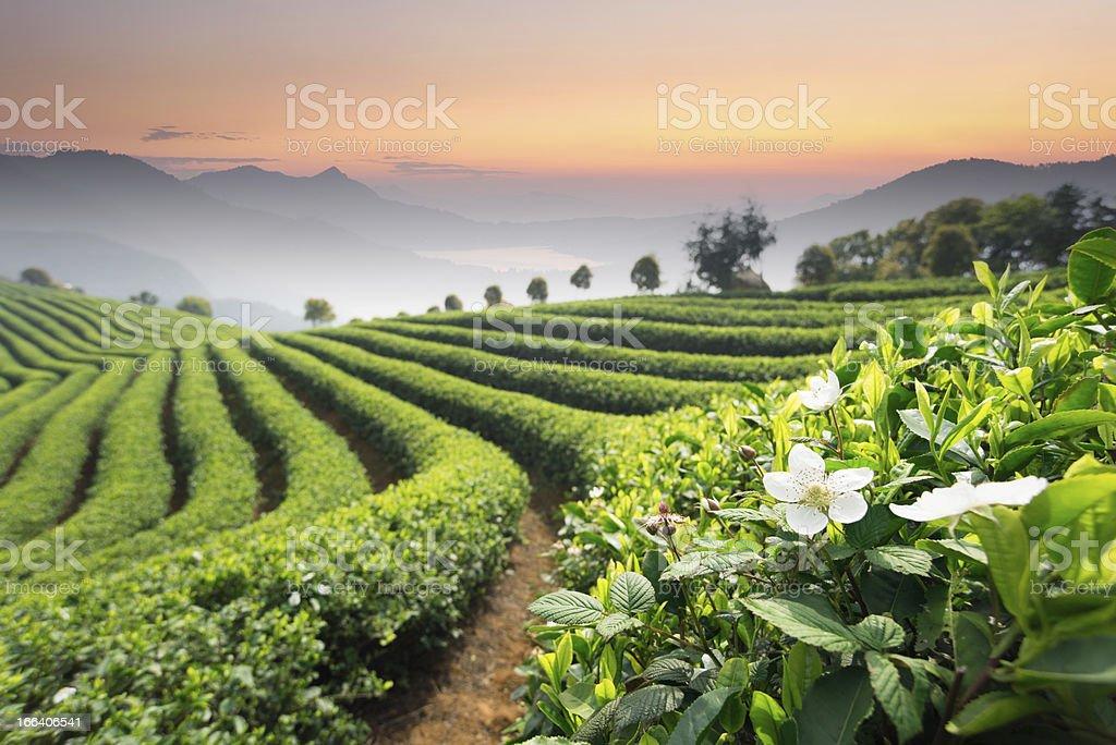 tea garden royalty-free stock photo