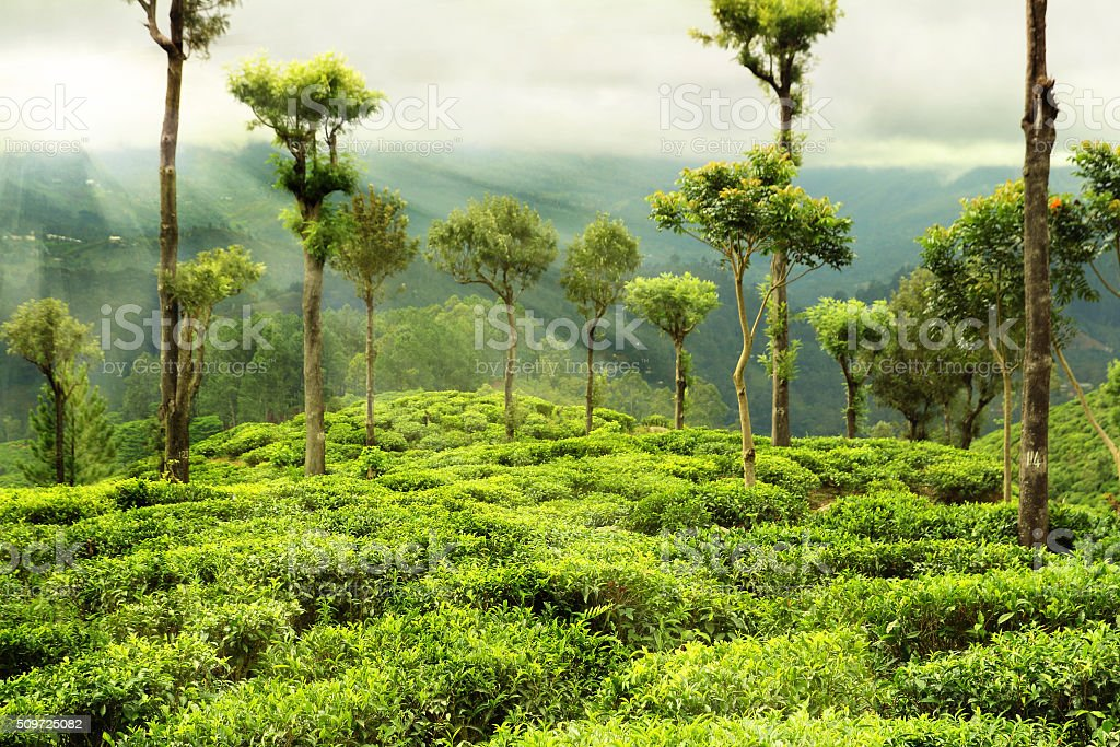 tea garden with trees stock photo