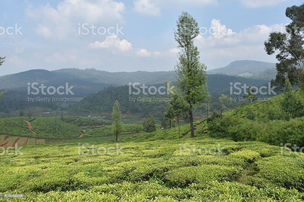 Tea Gardens in India stock photo
