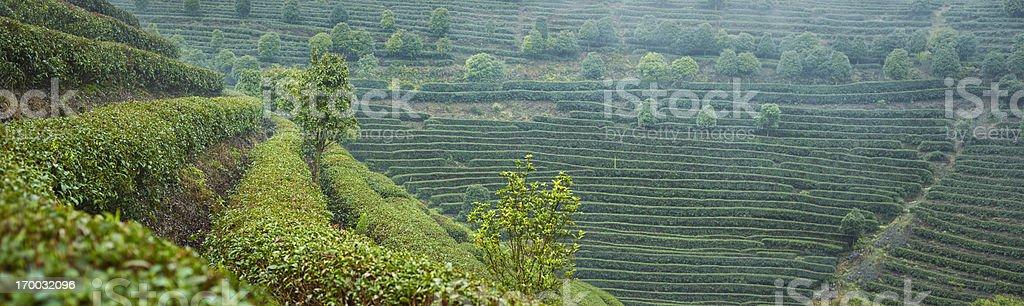 Tea gardens of China royalty-free stock photo
