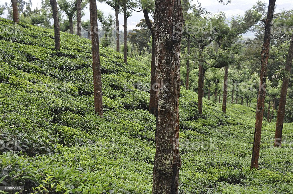 Tea Grdens South India royalty-free stock photo