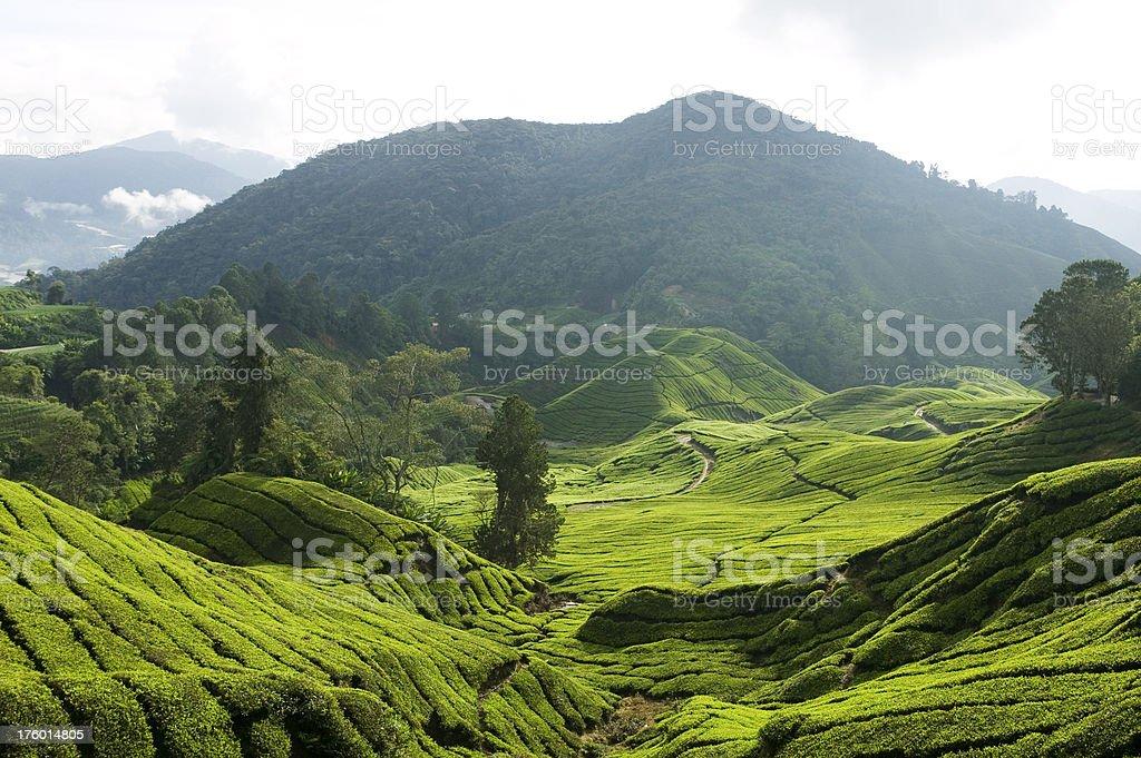 tea growth cameron highlands pahang malaysia royalty-free stock photo