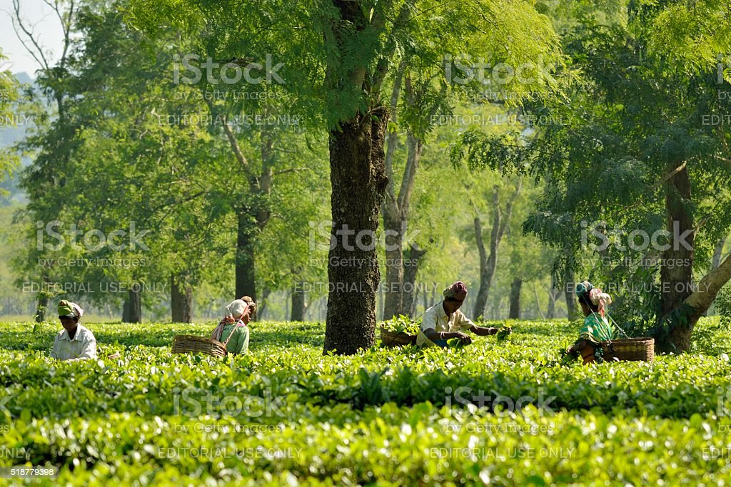 Tea Harvest stock photo