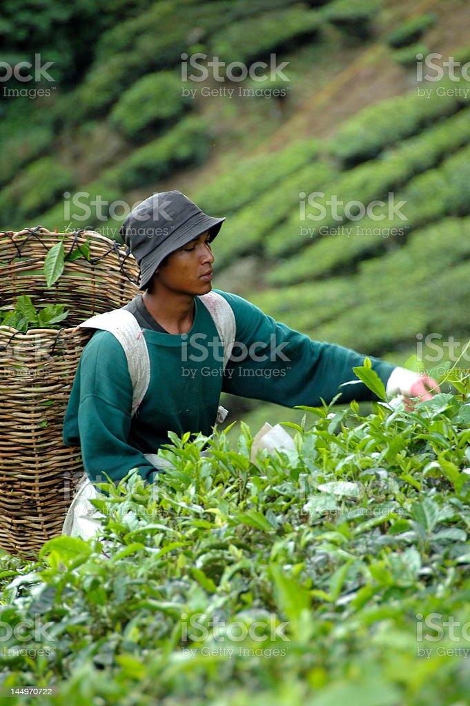 Tea Harvesting royalty-free stock photo