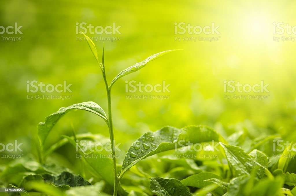 Tea Leaf royalty-free stock photo