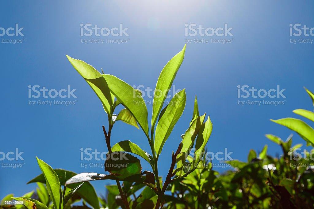 Tea leaves against blue sky stock photo