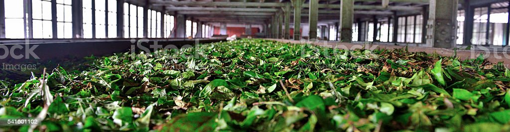 Tea leaves drying in tea factory stock photo