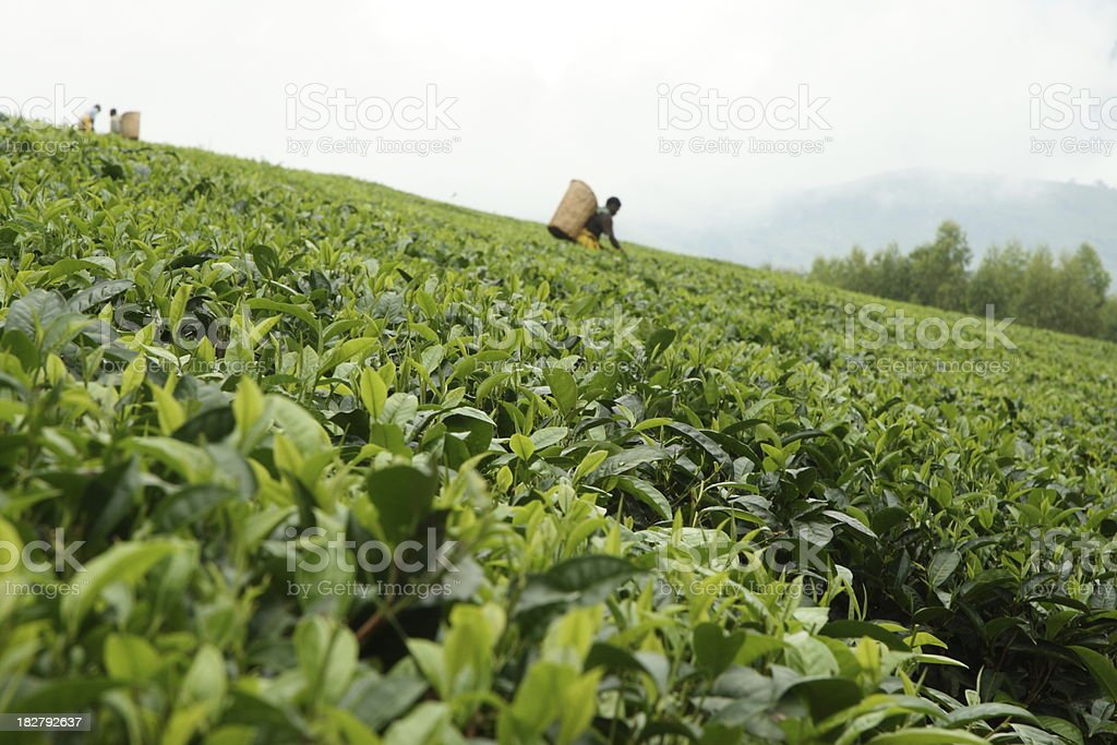 Tea Leaves growing on a plantation in Malawi, Africa stock photo