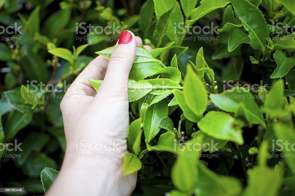 Tea Leaves Picking royalty-free stock photo