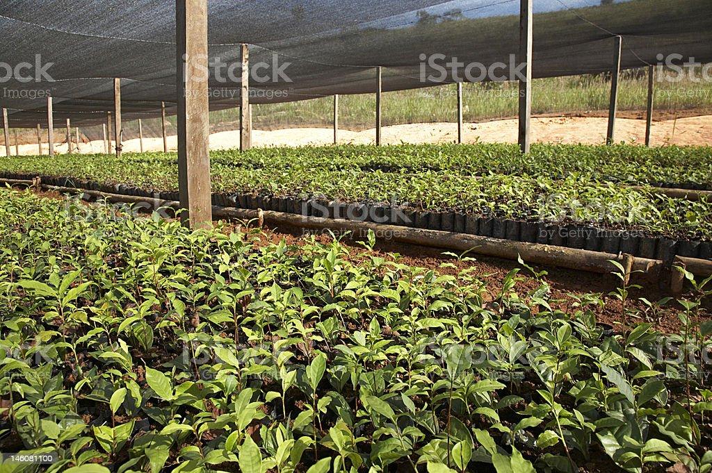 Tea Nursery stock photo
