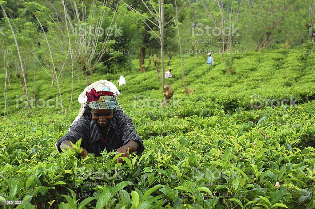 Tea Picker At Work royalty-free stock photo