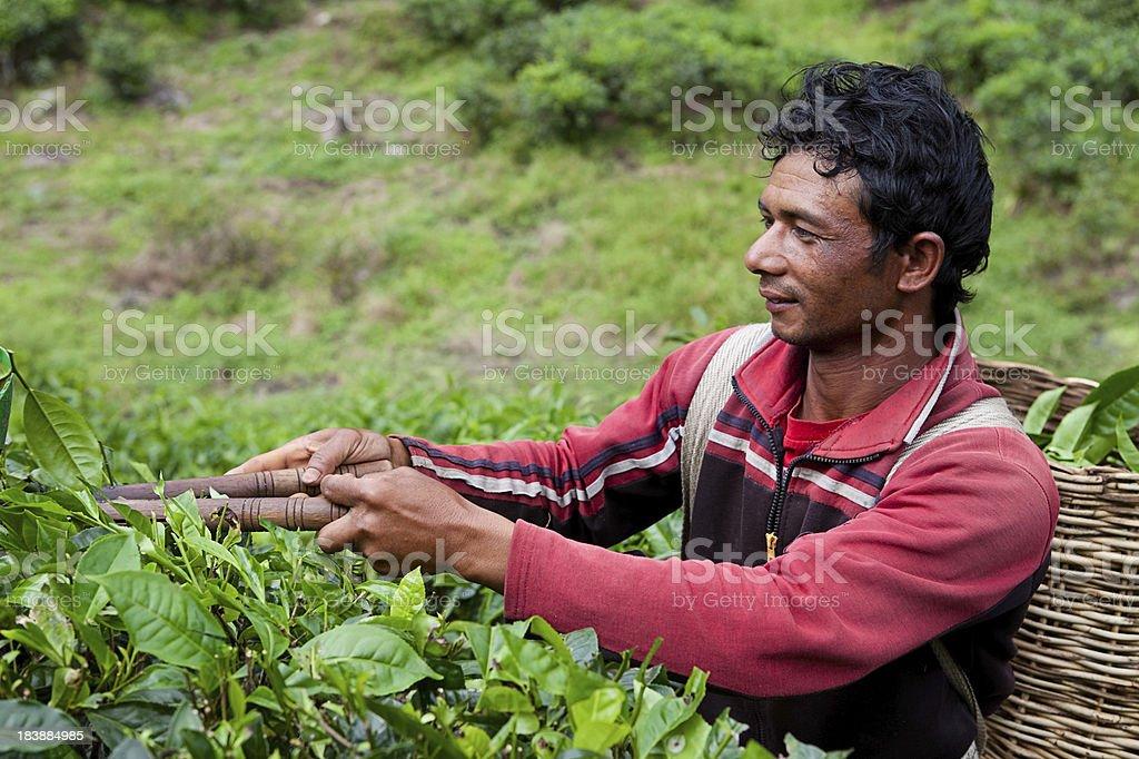 Tea Picker during his work stock photo