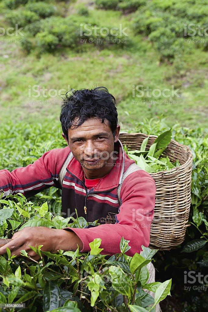 Tea Picker in Cameron Highlands, Malaysia royalty-free stock photo