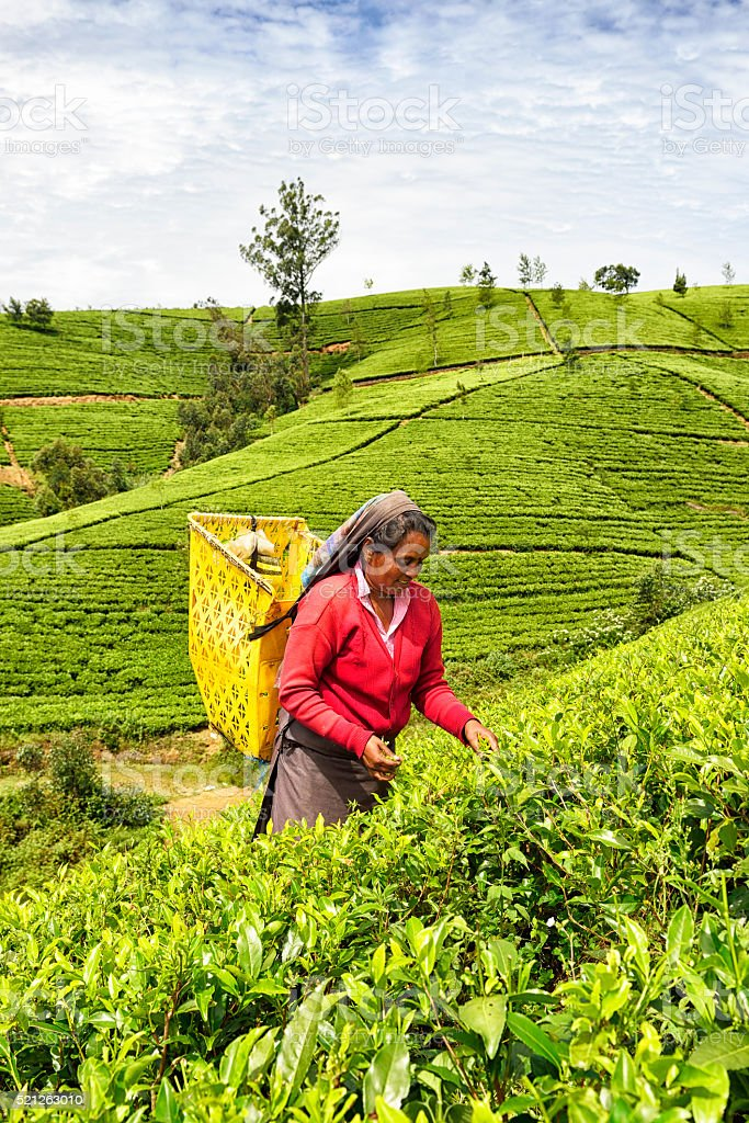 Tea Picker in Nuwara Eliya, Sri Lanka stock photo