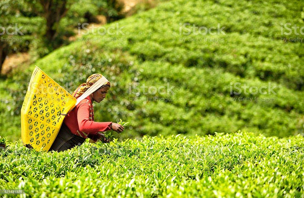 Tea Picker in Nuwara Eliya, Sri Lanka stock photo