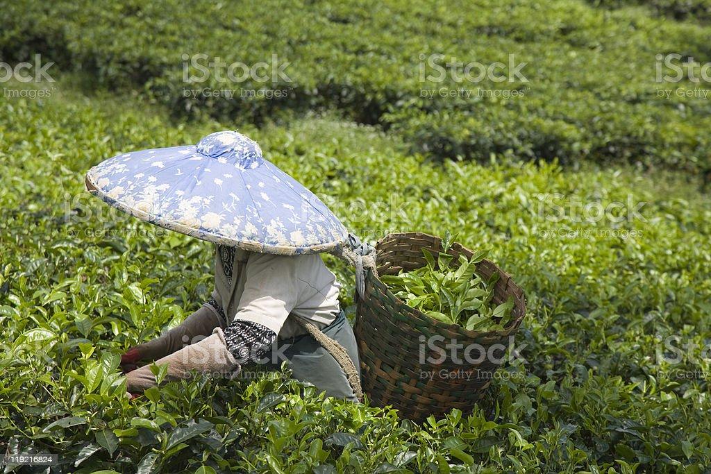 Tea  picker stock photo