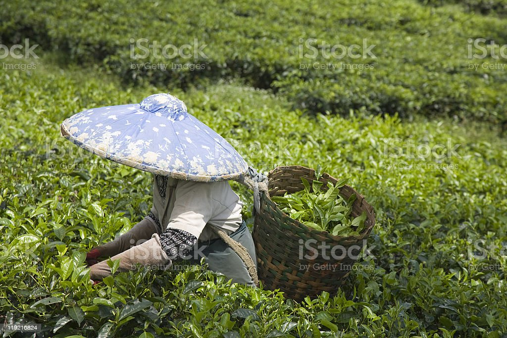 Tea  picker stock photo