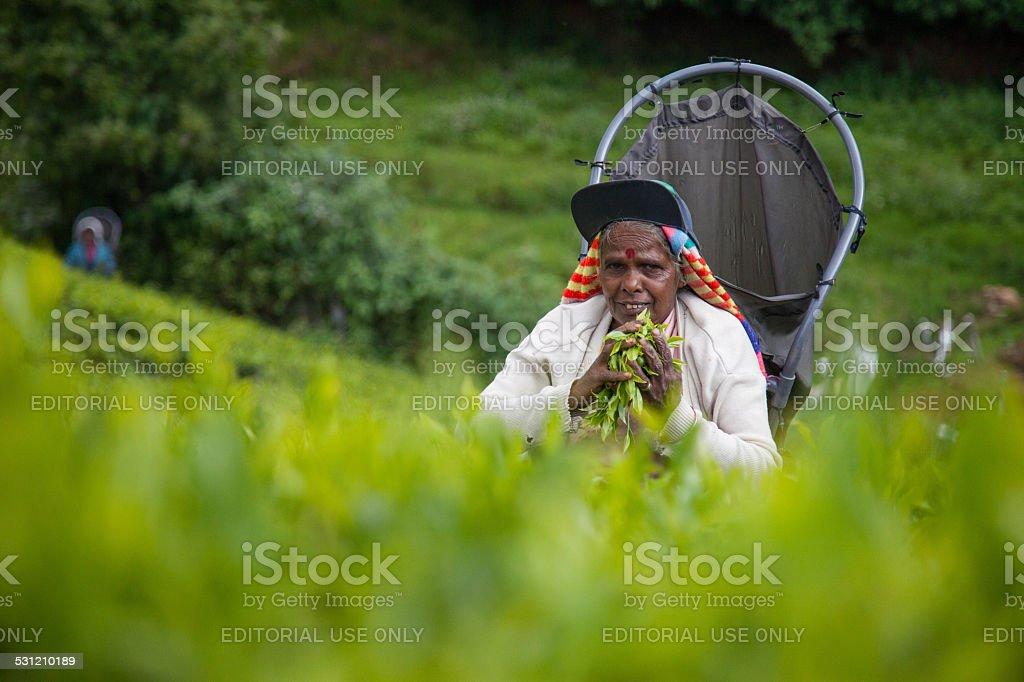 Tea picker royalty-free stock photo