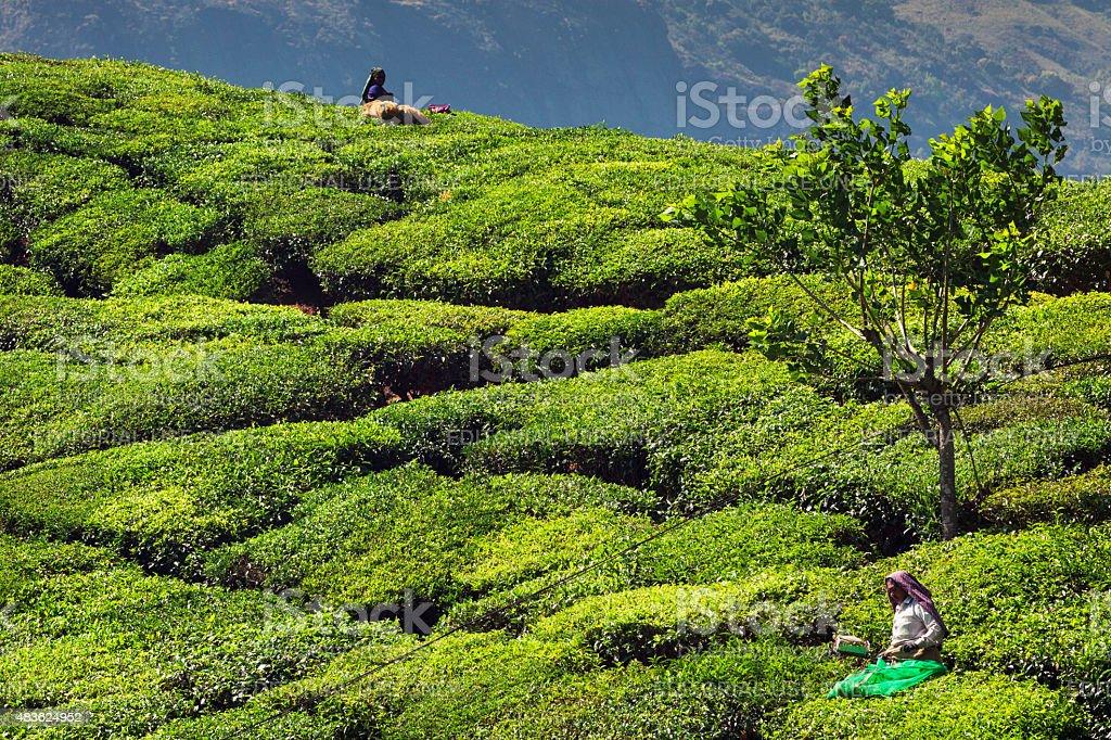 Tea Pickers at Plantation in Munnar, India stock photo