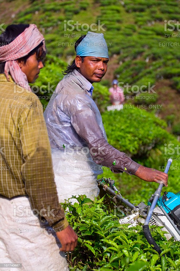 Tea pickers at work royalty-free stock photo