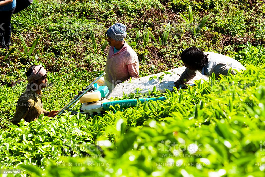 Tea pickers at work stock photo