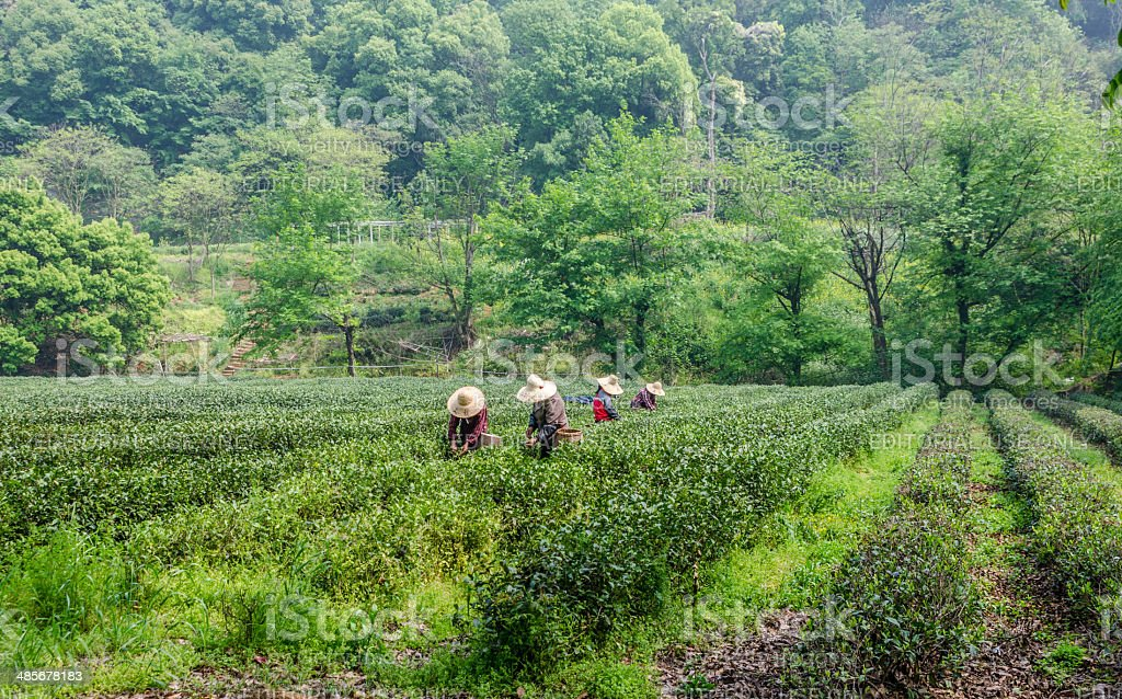 Tea Pickers collecting Longjing tea in Hangzhou, China stock photo