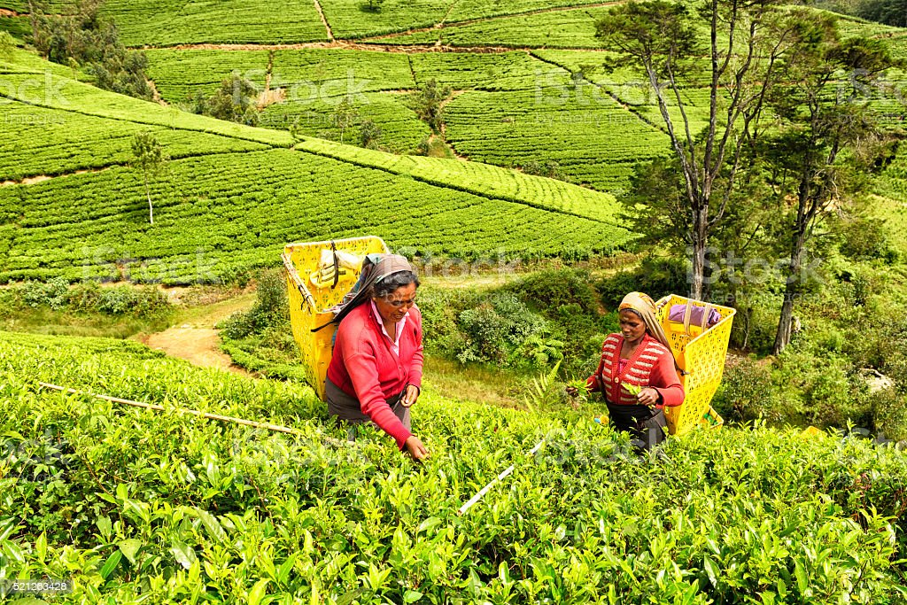 Tea Pickers in Nuwara Eliya, Sri Lanka stock photo