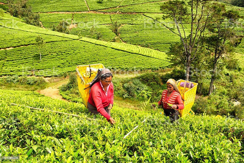 Tea Pickers in Nuwara Eliya, Sri Lanka stock photo