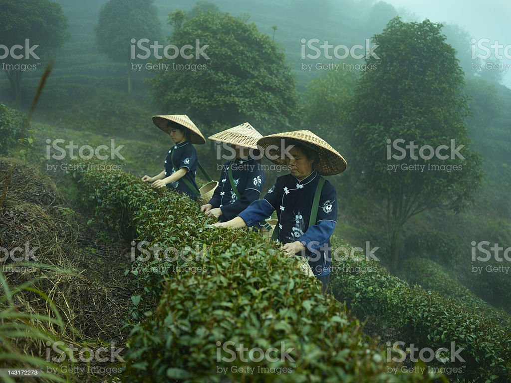 Tea pickers stock photo