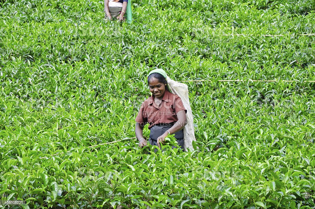 Tea pickers working on plantations near Mount Pidurutalagala royalty-free stock photo