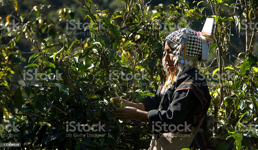 Tea Picking Akha Woman royalty-free stock photo