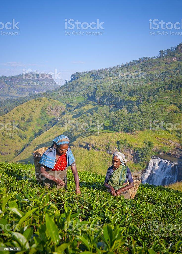 Tea picking in Sri Lanka royalty-free stock photo