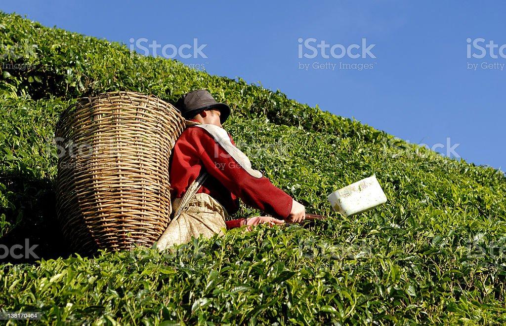 Tea Picking royalty-free stock photo