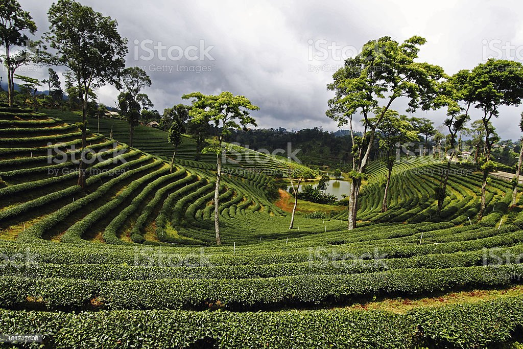 Tea planation landscape in the north of Thailand royalty-free stock photo