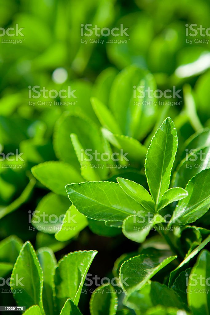tea plant royalty-free stock photo